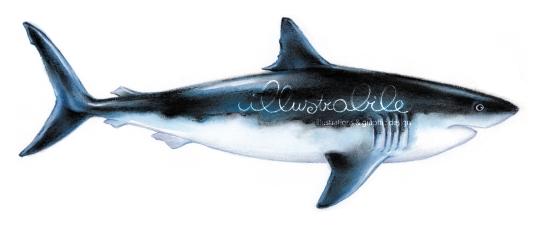 Illustrazione squalo bianco